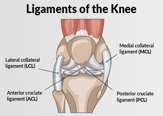 vector drawing of the ligaments of the knee acl mcl